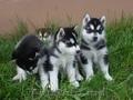 голубые глаза хаски щенки